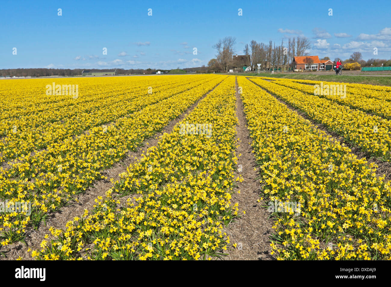 Spring time: A wide angle view of bulb fields with daffodils, Noordwijkerhout, South Holland, The Netherlands. - Stock Image