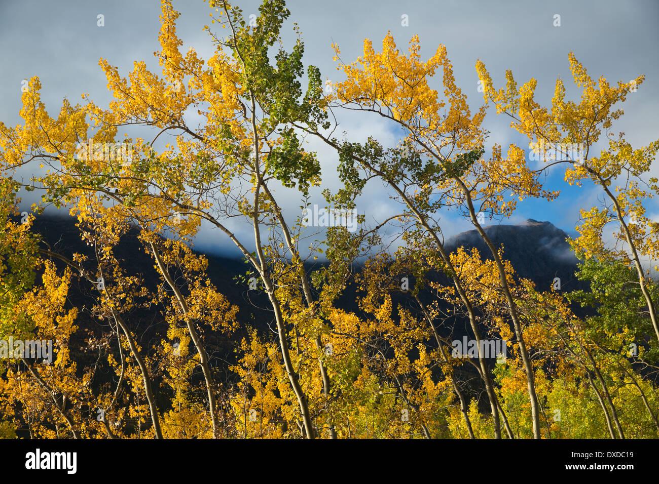autumn colours at Crag Lake, near Carcross, Yukon Territories, Canada - Stock Image
