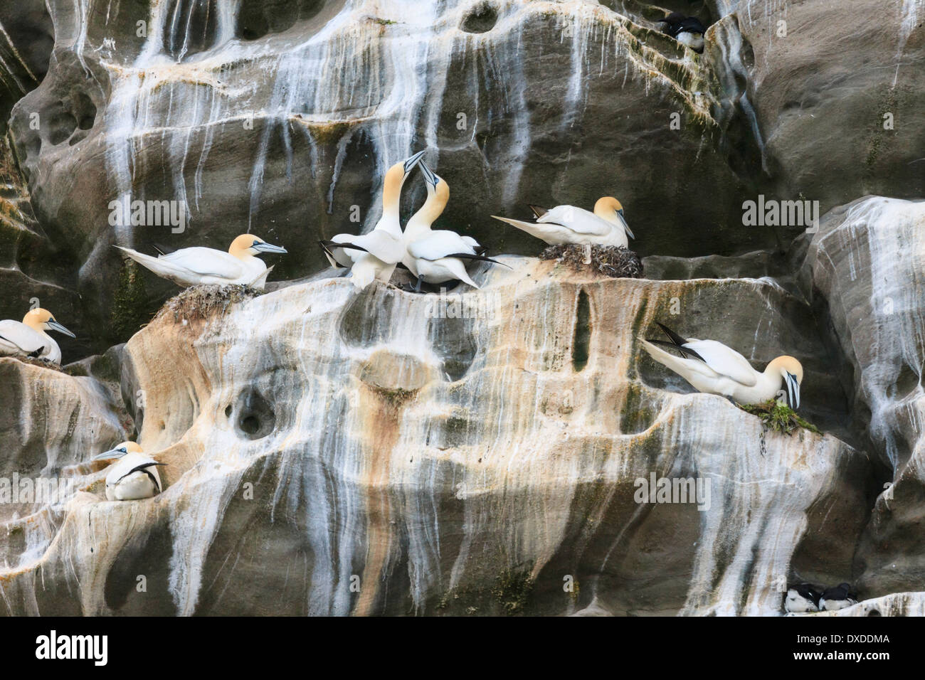 Seabird colony of Gannets on rock ledges of seacliffs during summer breeding season in May. Isle of Noss National Nature Reserve, Scotland, UK - Stock Image