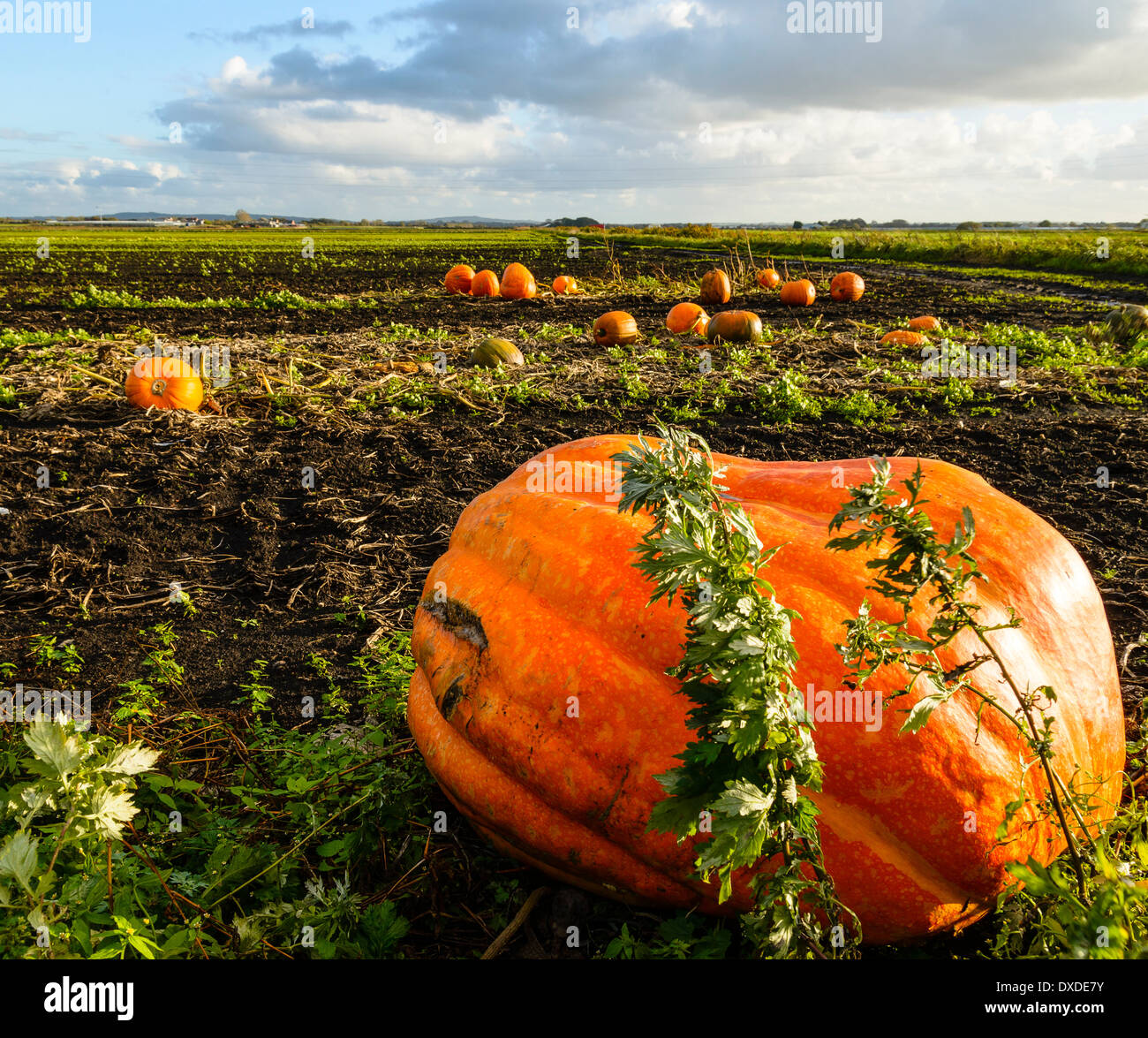 Pumpkins growing in fields near Tarleton in West Lancashire - Stock Image