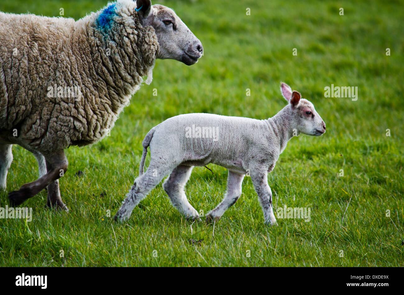 Lamb and Ewe - Stock Image