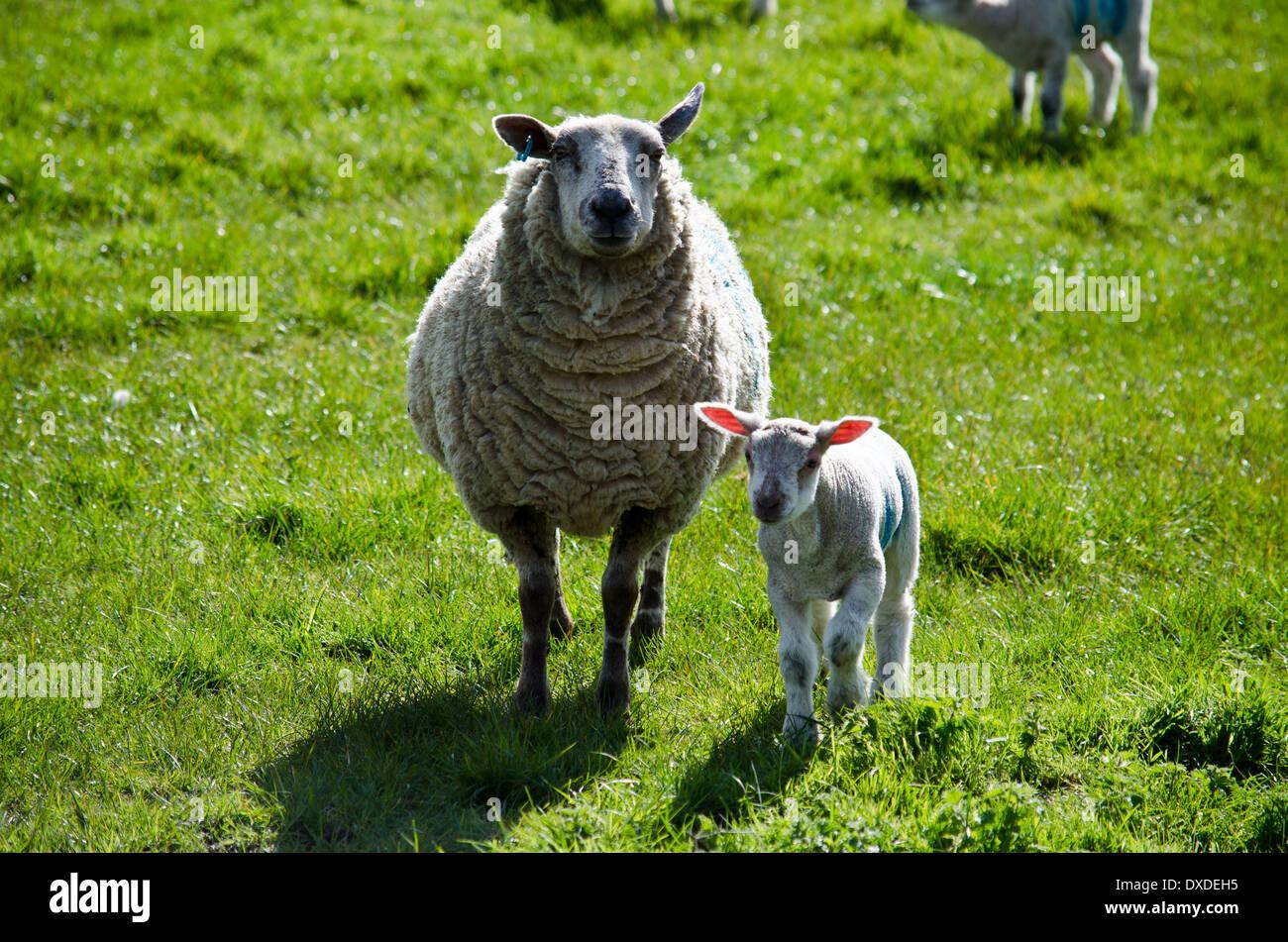 Ewe and lamb - Stock Image