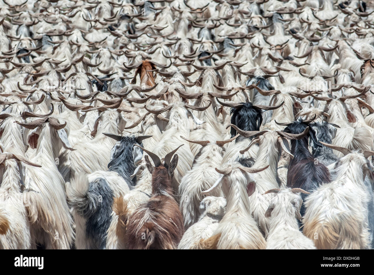 herd of goats in mountain - Stock Image