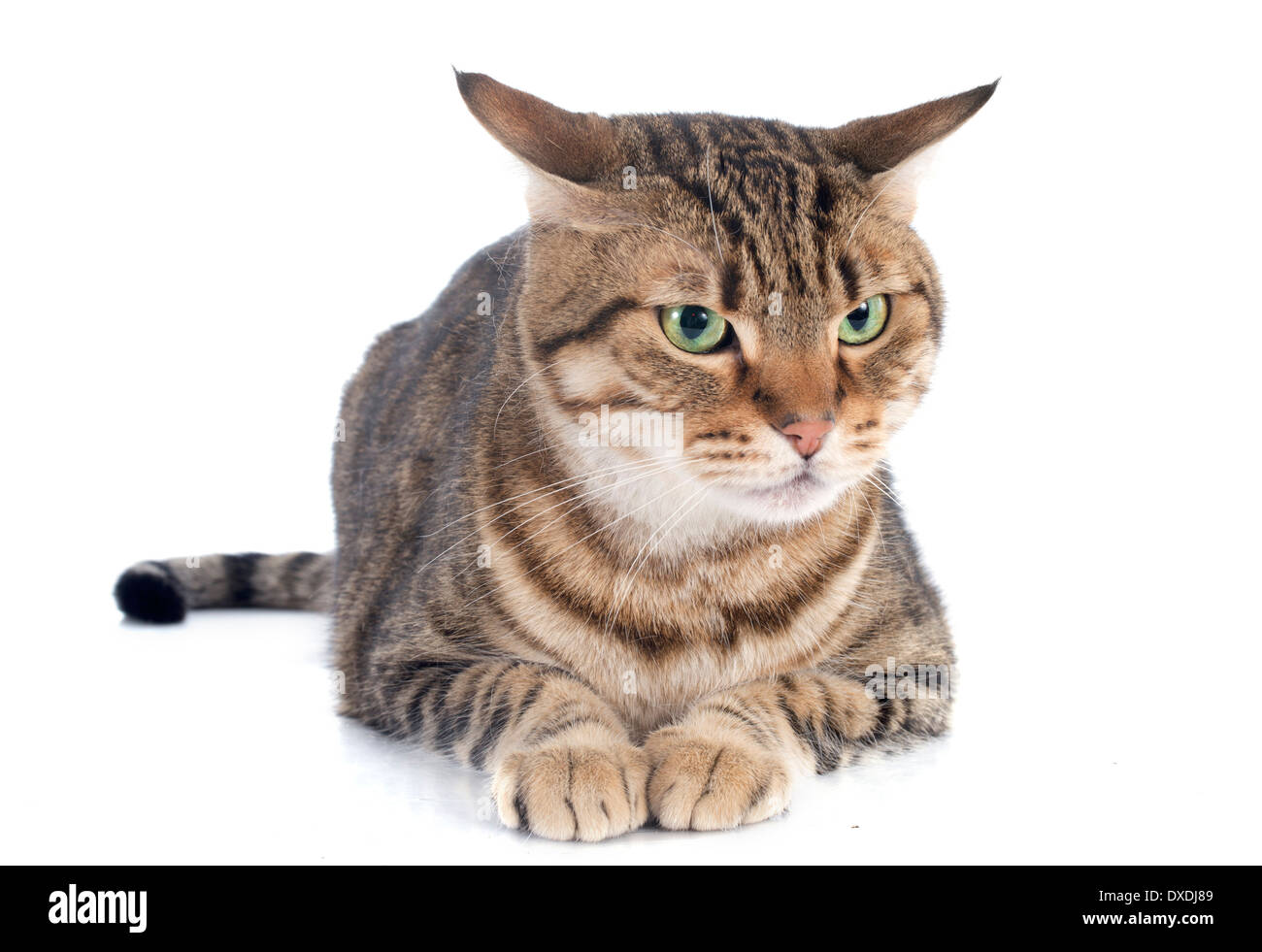 portrait of a purebred bengal cat on a white background - Stock Image