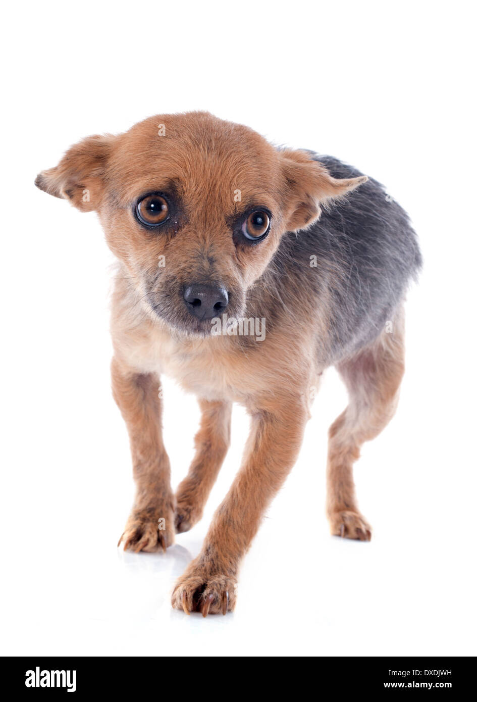 crossbred chihuahua in front of white background - Stock Image