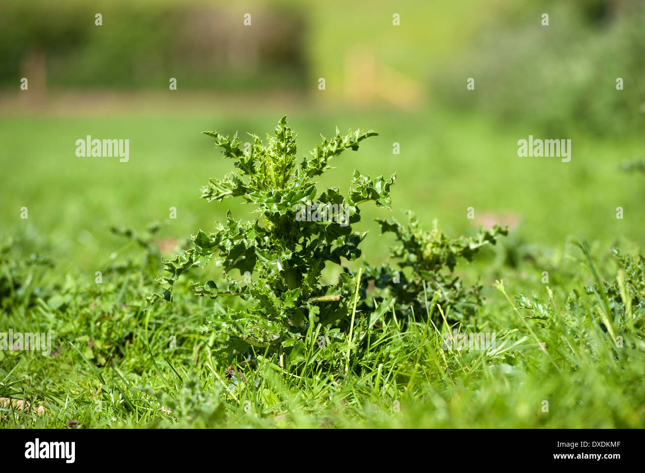 Creeping thistle, Cirsium arvense, in pasture. Scotland. - Stock Image