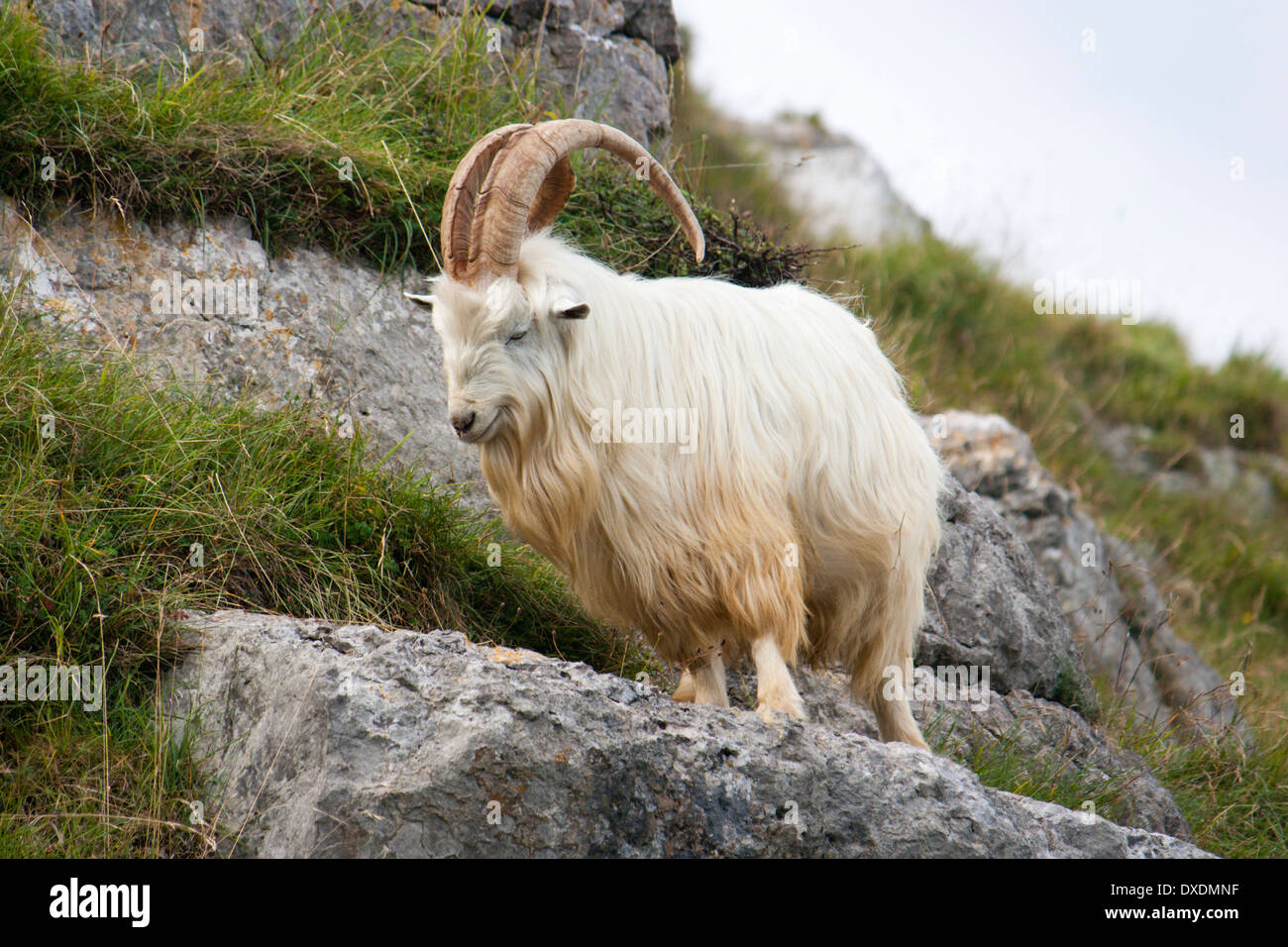 Feral male Kashmir goat on the rocks of the Great Orme, North Wales - Stock Image