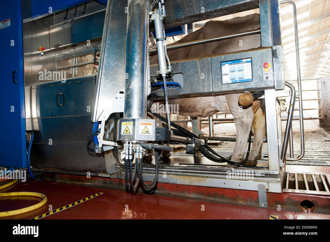 Cattle getting milked by DeLavel robotic milking machine. Scotland. - Stock Image