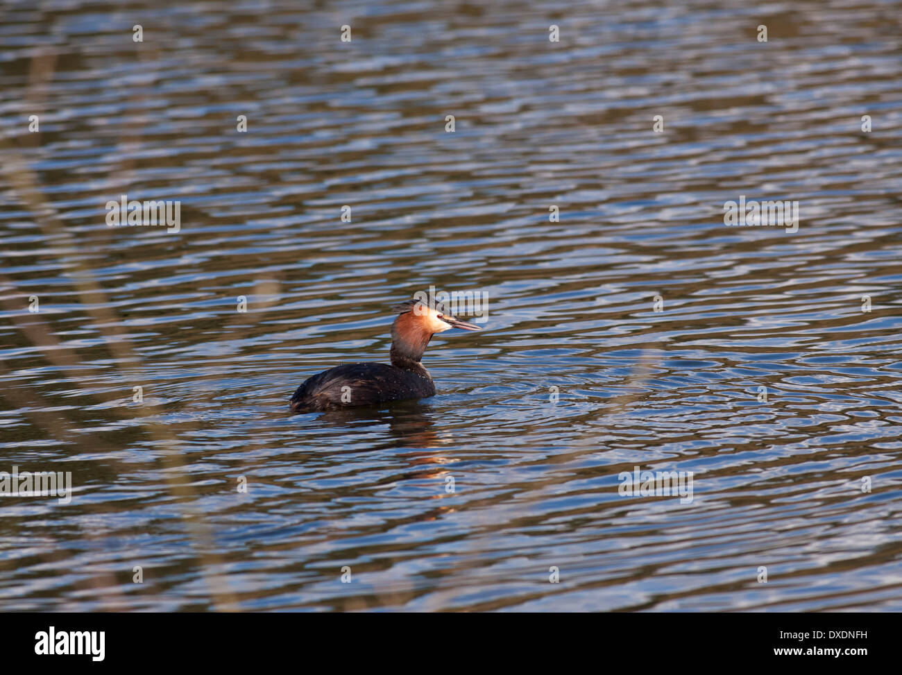 Great crested grebe on the water - Stock Image