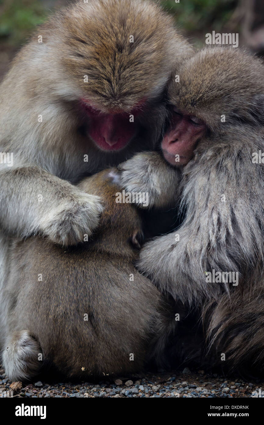 Japanese Macaque (macaca fuscata) family huddled together for warmth Stock Photo