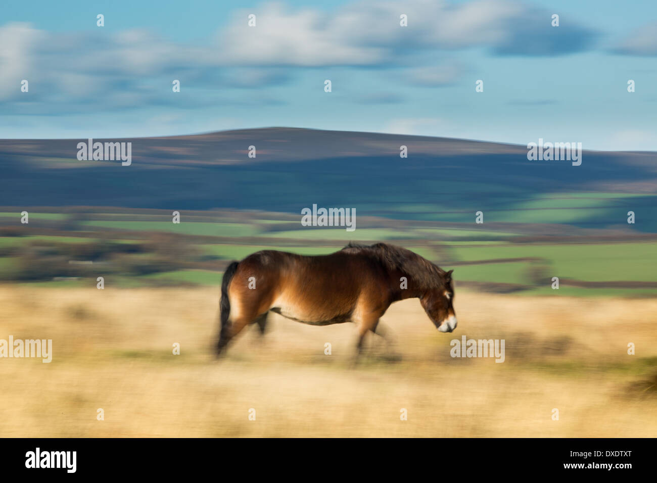 A wild Exmoor pny on Winsford Hill, Exmoor, National Park, Somerset, England - Stock Image