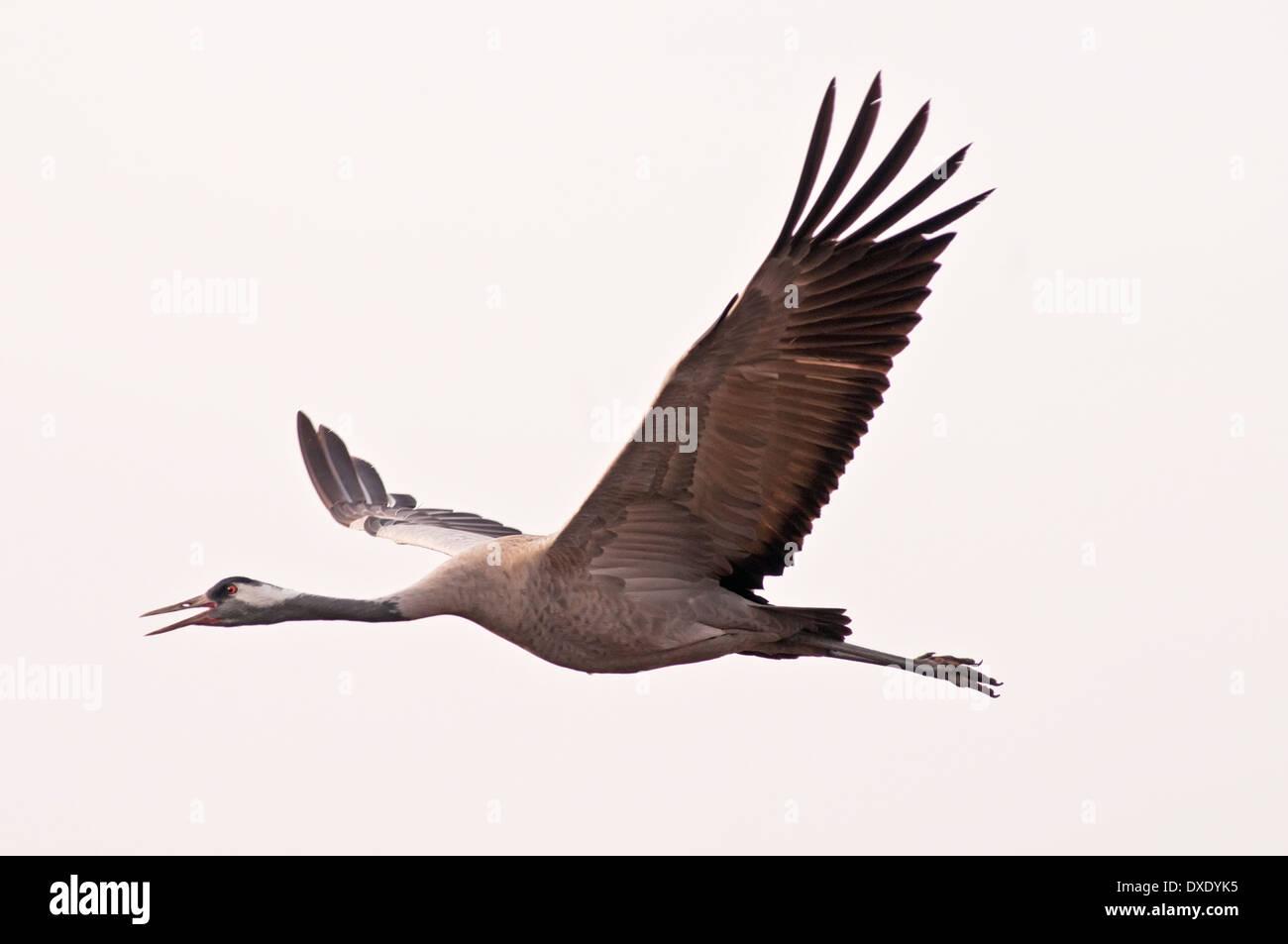 Common Crane, Grus grus,  Flying Stock Photo