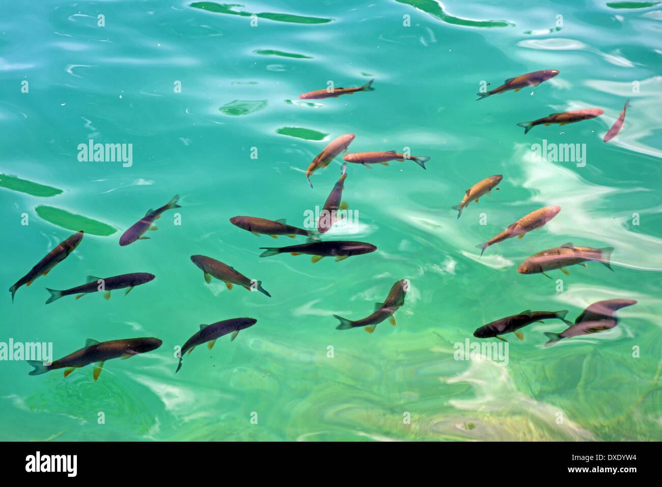 Fish in Plitvice lakes, Croatia - Stock Image