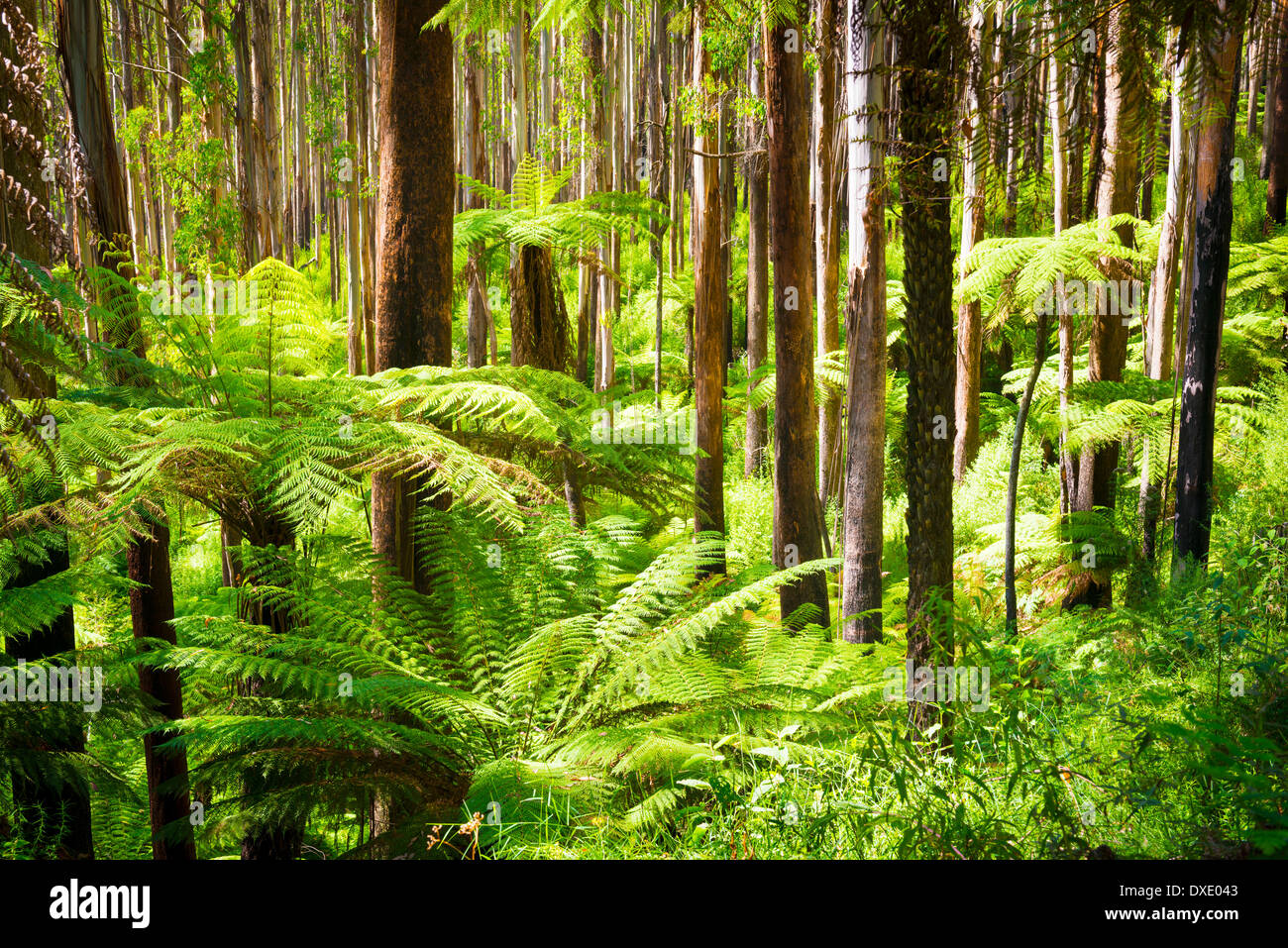 Lush green ferns, tree ferns and towering mountain ash along the Black Spur, Victoria, Australia Stock Photo