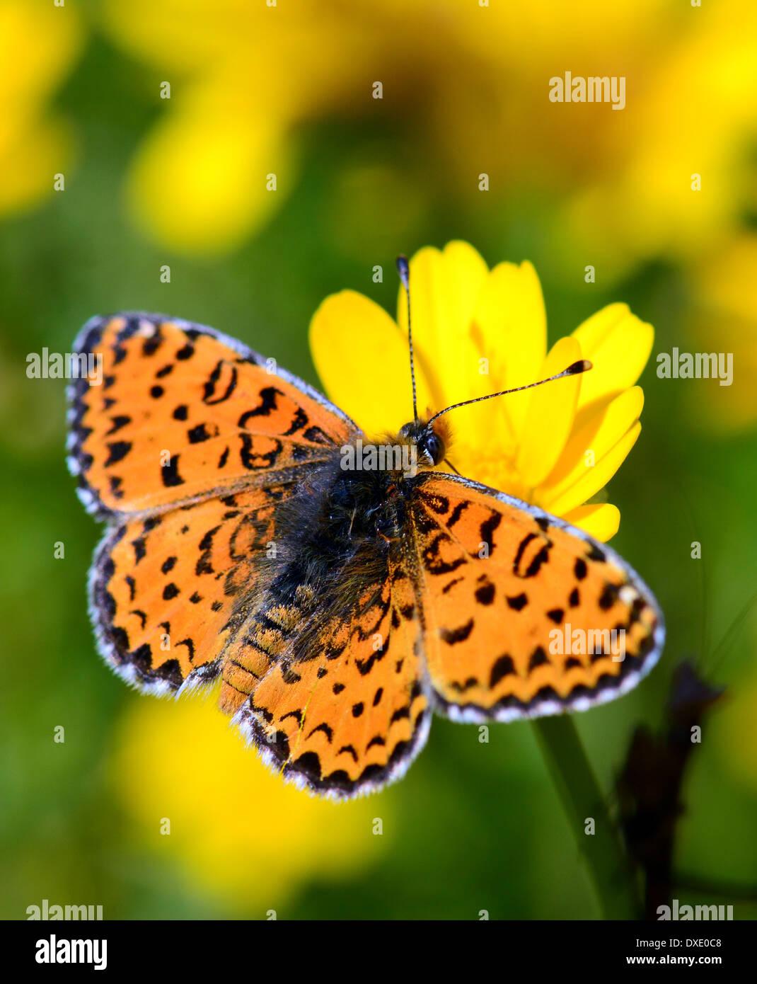 Lesser Spotted Fritillary, Melitaea trivia - Stock Image