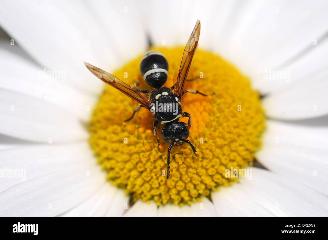 Wasp feed on pollen - Stock Image