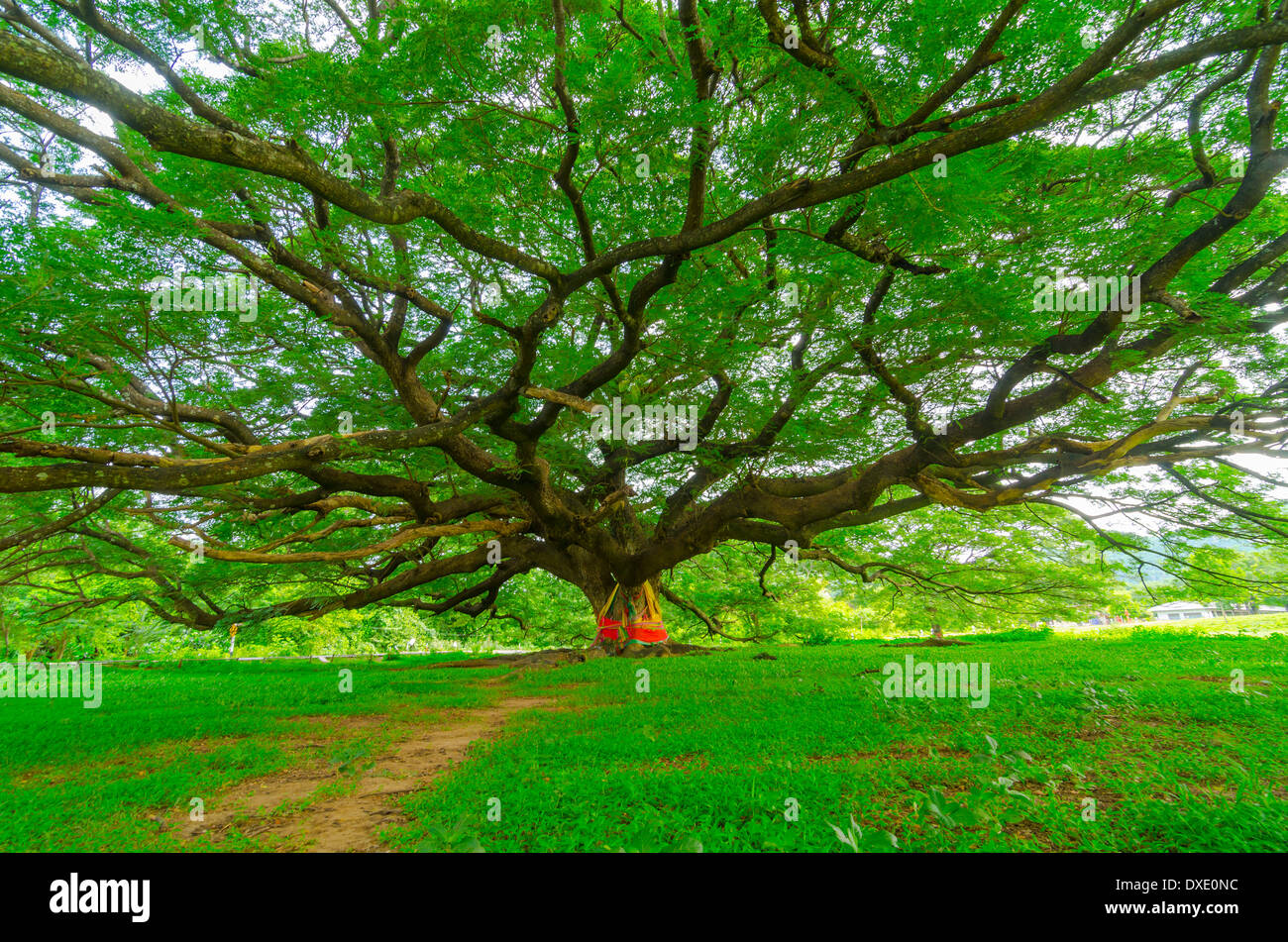 mighty old tree with green spring leaves Stock Photo