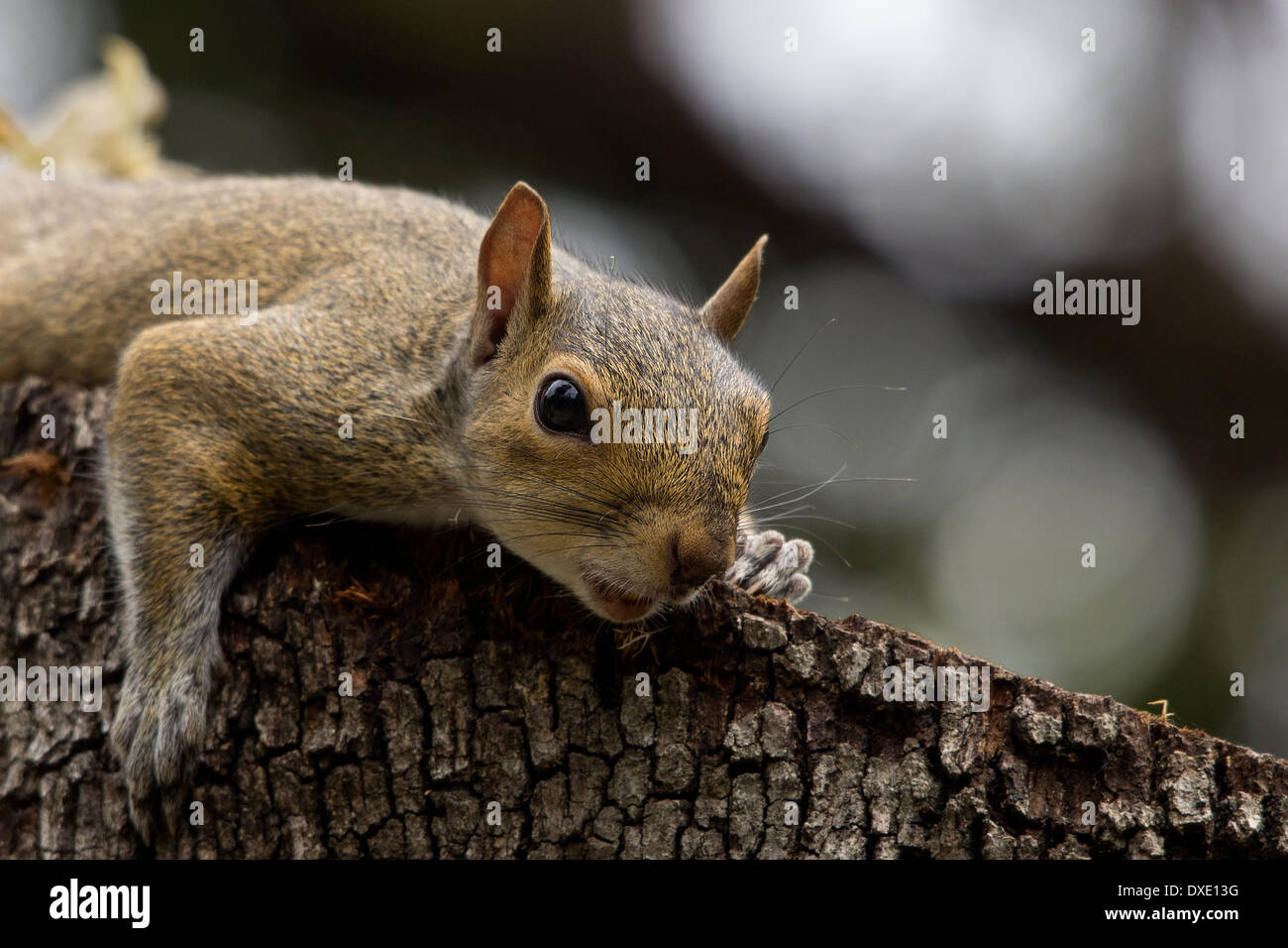 squirrel take a sun on a trie after lunch - Stock Image