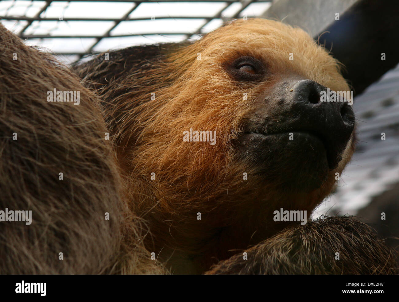 Hoffmann's two-toed sloth (Choloepus hoffmanni) close-up of the head, captive animal at Loro Parque Zoo, Tenerife, Spain Stock Photo