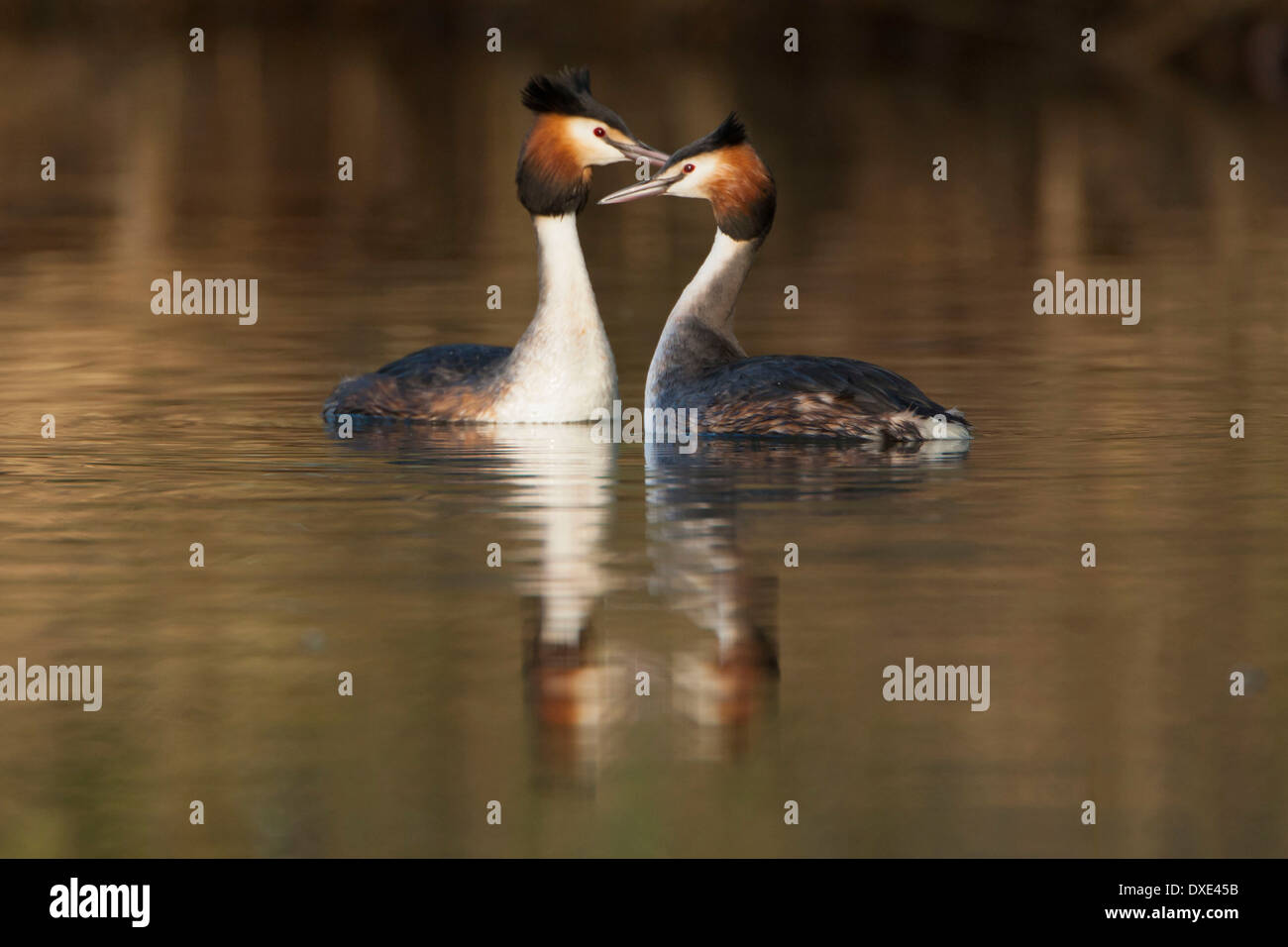Courtship display of Great Crested Grebe pair with reflections of the birds on golden coloured water. Stock Photo