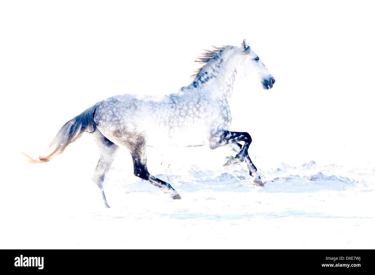 Lusitano. Dapple grey stallion galloping in snow. Germany - Stock Image