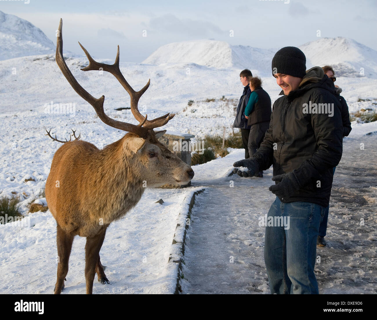 Tourist interact with Stags on Rannoch Moor, Scottish Highlands. - Stock Image
