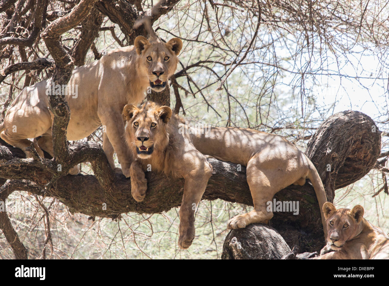 A family of lions in a tree in Tanzania Stock Photo