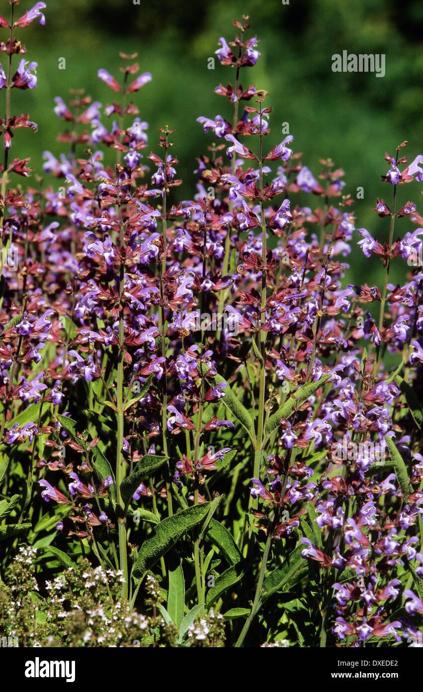 Common Sage, Garden Sage, Echter Salbei, Garten Salbei, Küchensalbei,  Heilsalbei