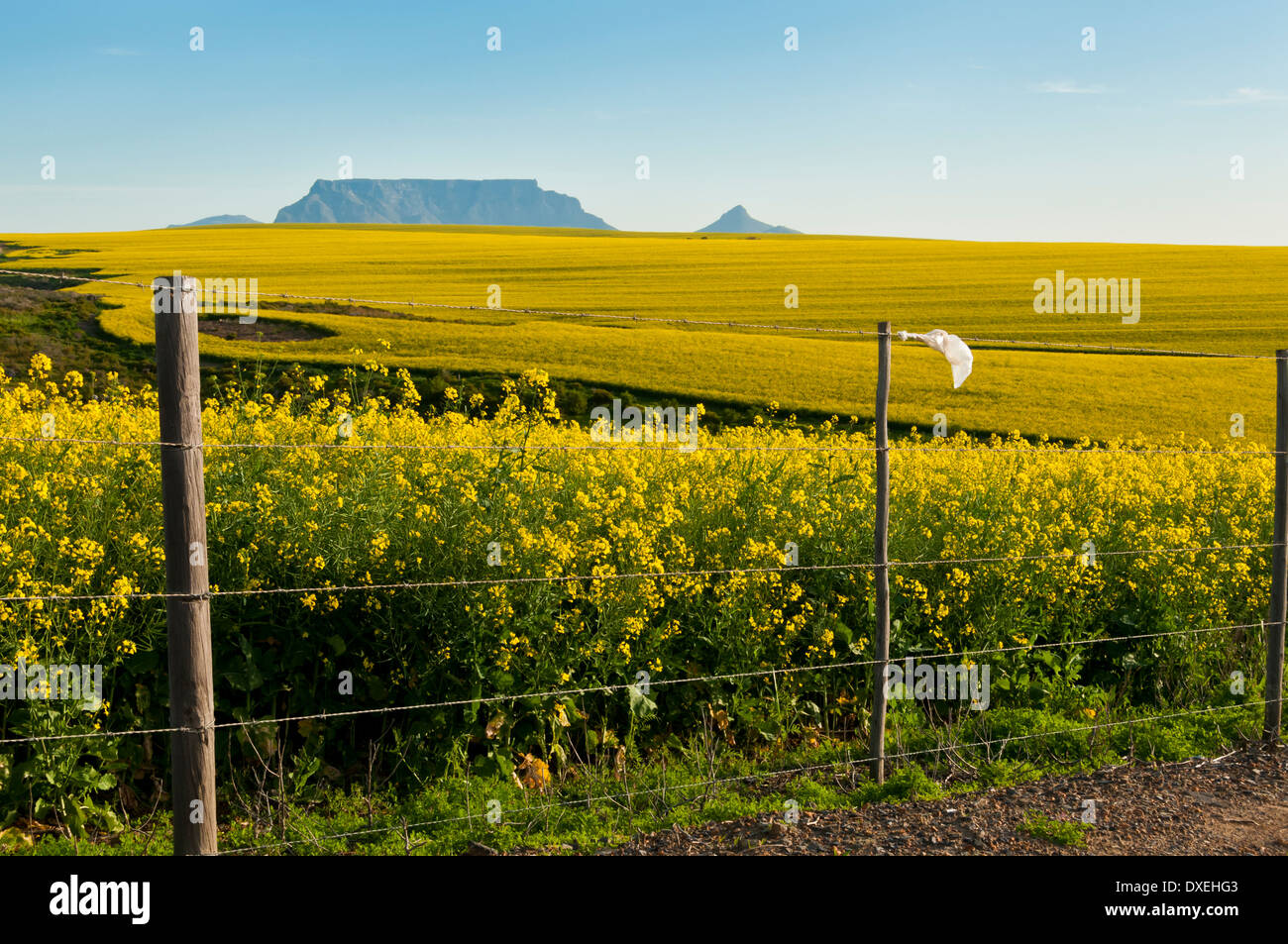 View of Table Mountain with fields of Canola flowers and a polluted plastic bag stuck on a fence Stock Photo