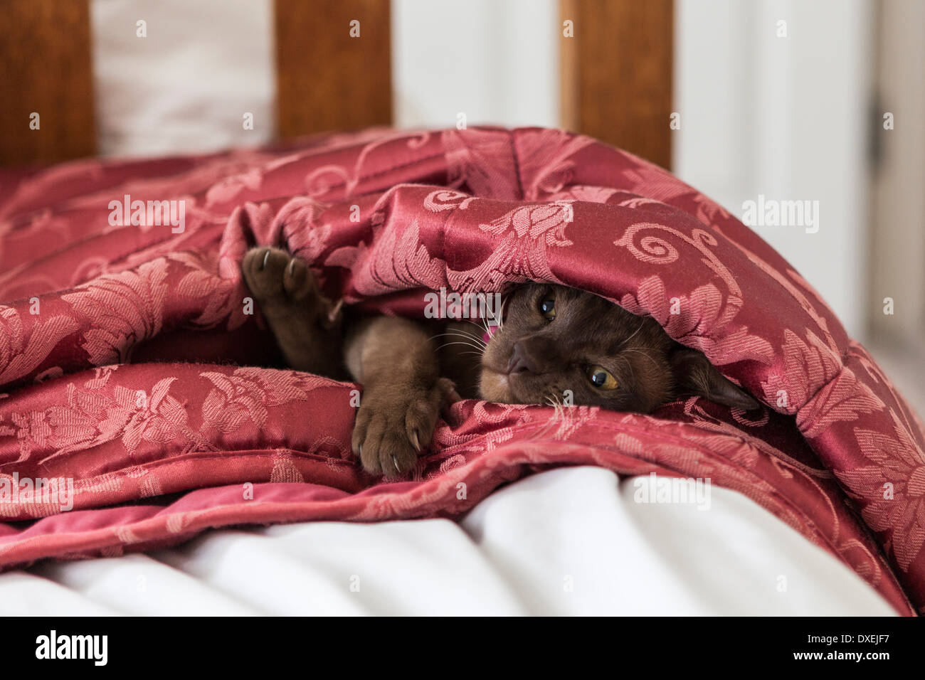 Young Chocolate coated Burmese cat peering out of duvet quilt on a bed.Cute kitten keeps warm - Stock Image