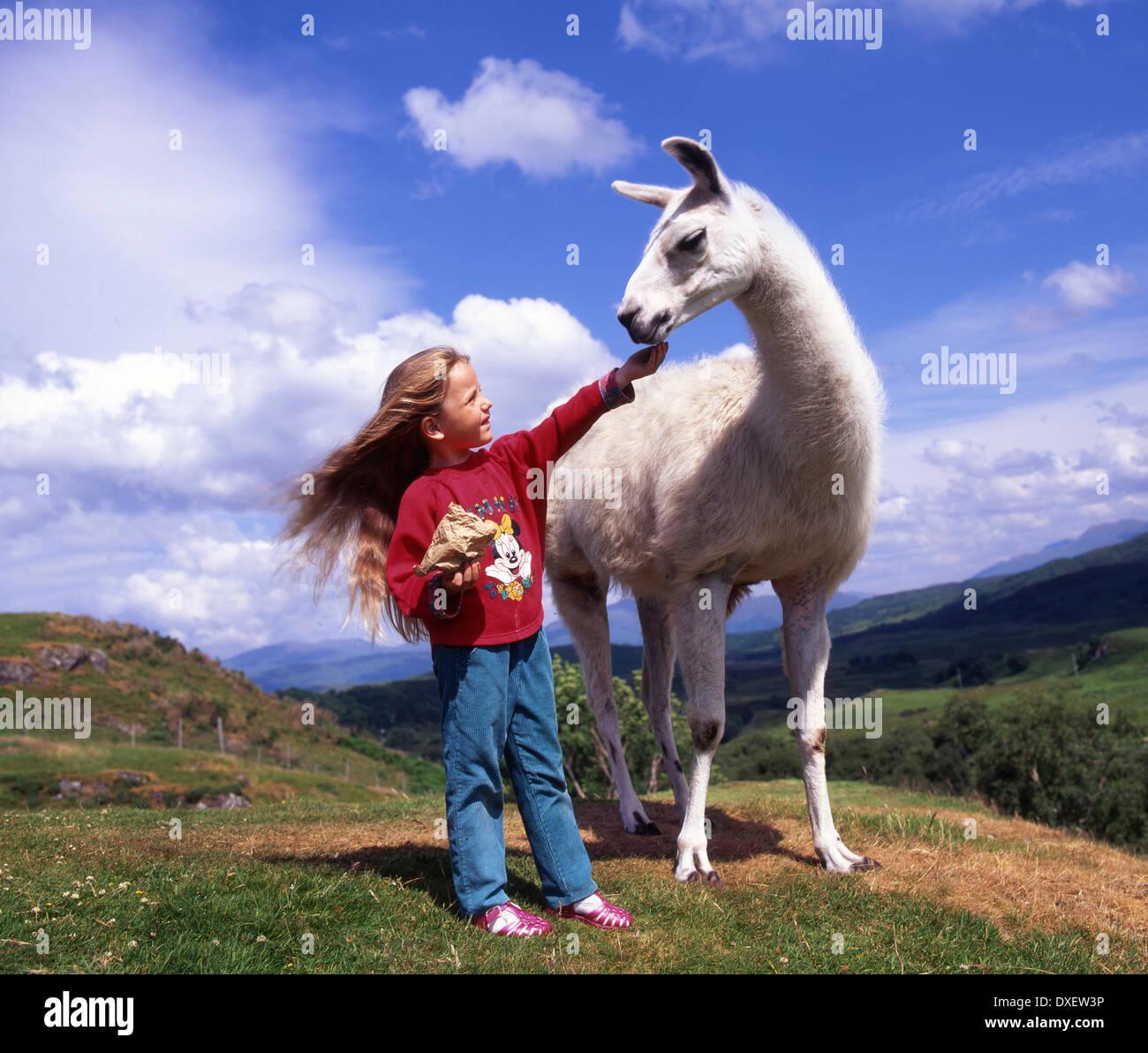 Girl feeds lama at rare breeds park Argyll - Stock Image