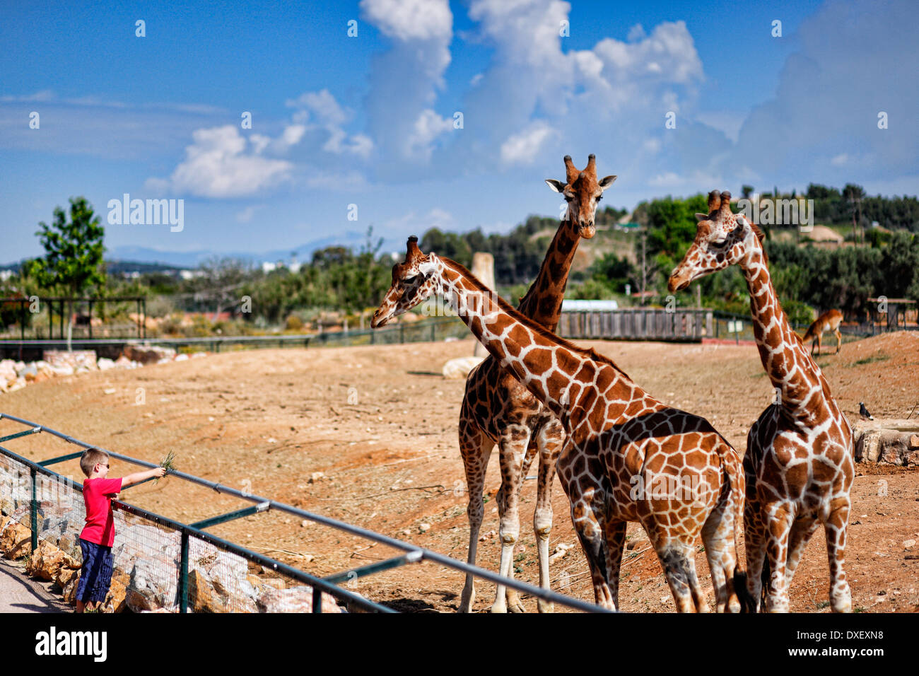A boy feeding Giraffes at the Zoo - Stock Image
