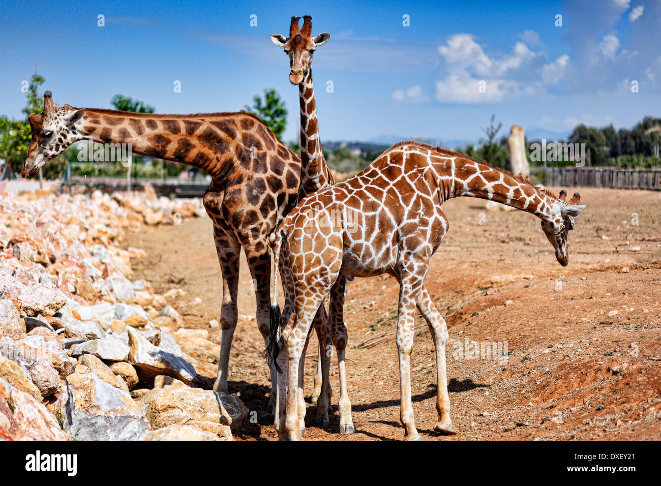 Giraffes in the zoo - Stock Image