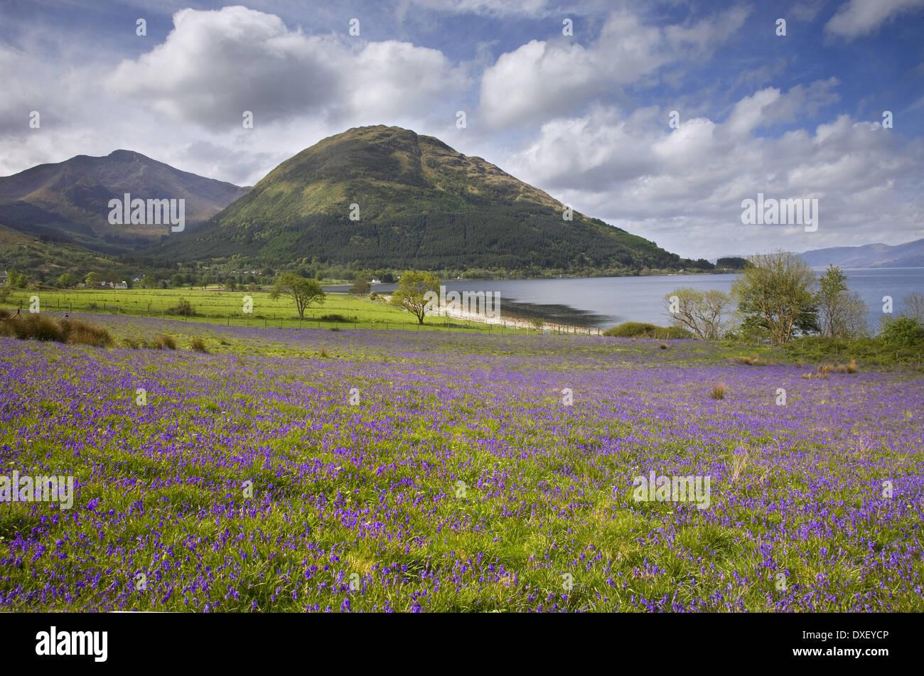 Bluebells, North Ballachulish,loch-leven, - Stock Image