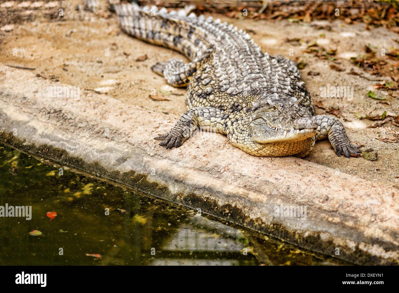 Crocodile in the zoo - Stock Image