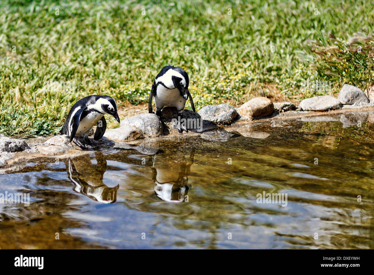 Penguins in the zoo - Stock Image