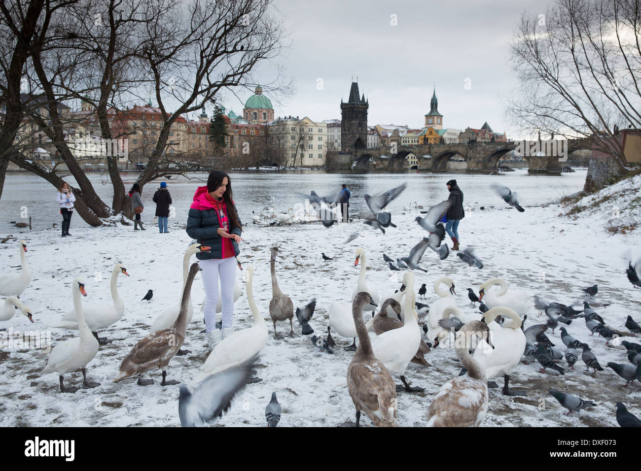 swans and gulls by the Vltava River with Charles Bridge beyond, Prague, Czech Republic - Stock Image