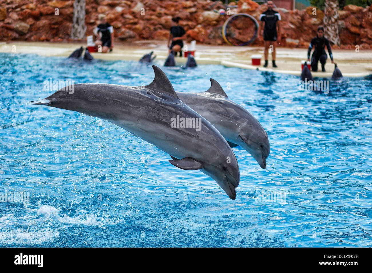 Dolphins jumping in formation in an aquarium Stock Photo