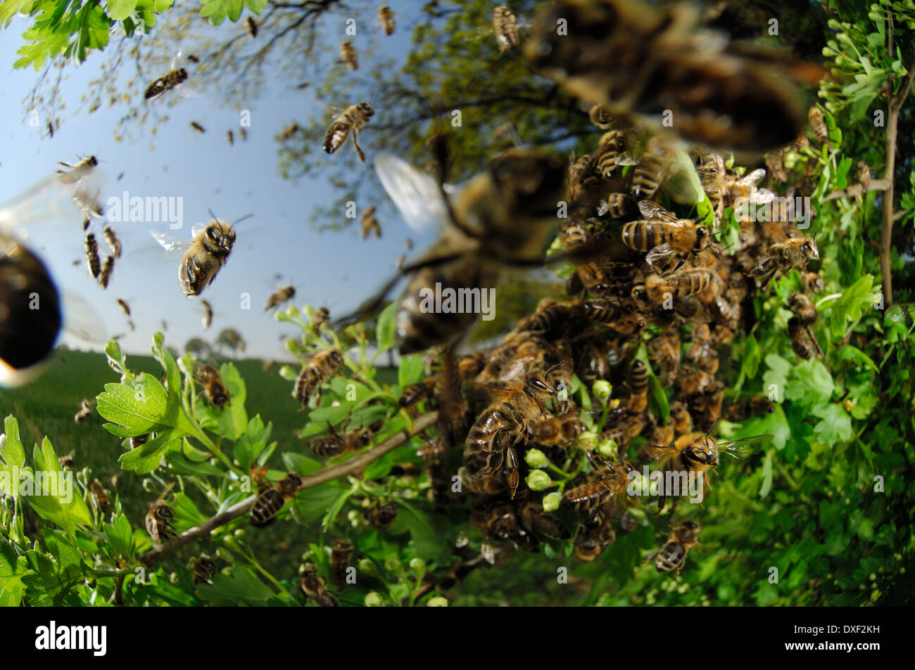 Honey bee (Apis mellifera) swarm - Stock Image