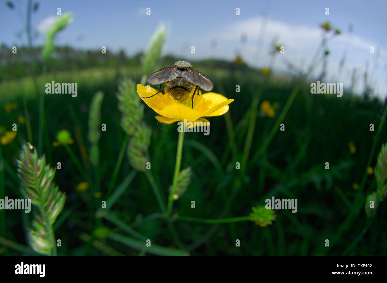 Fly on a buttercup flower - Stock Image