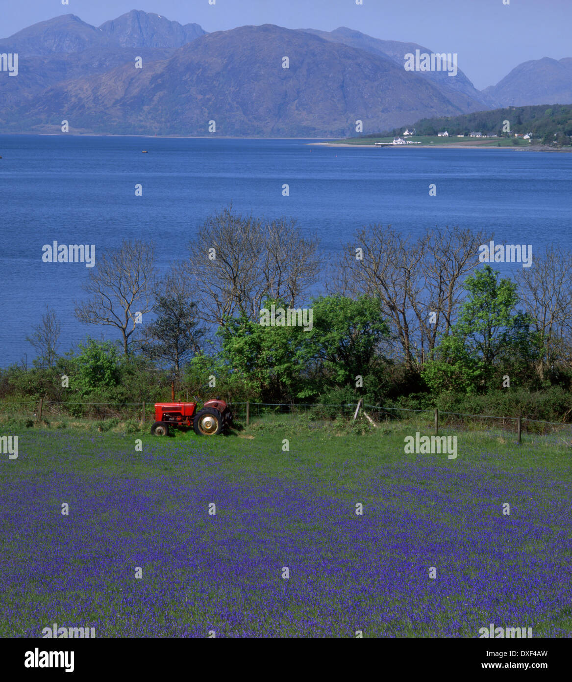 Field of Bluebells on Loch Linnhe with the Morvern Hills,North ballachulish West Highlands - Stock Image