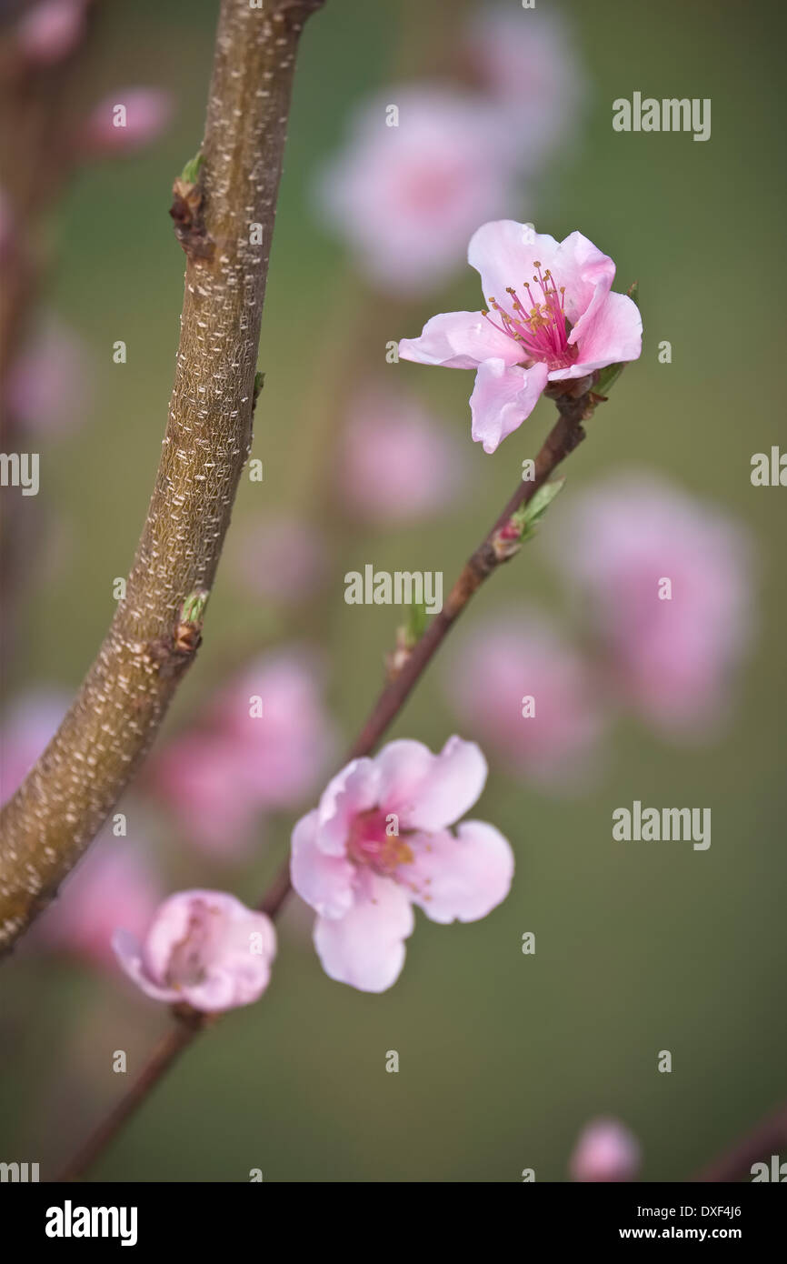 Super Sweet Nectarine. Sweet Pearl. Buds and Flower blossoms - Stock Image