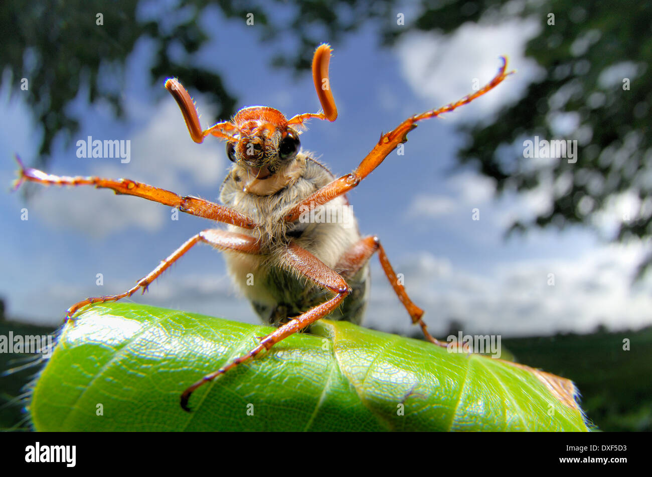 The cockchafer or may bug (Melolontha melolontha) Stock Photo