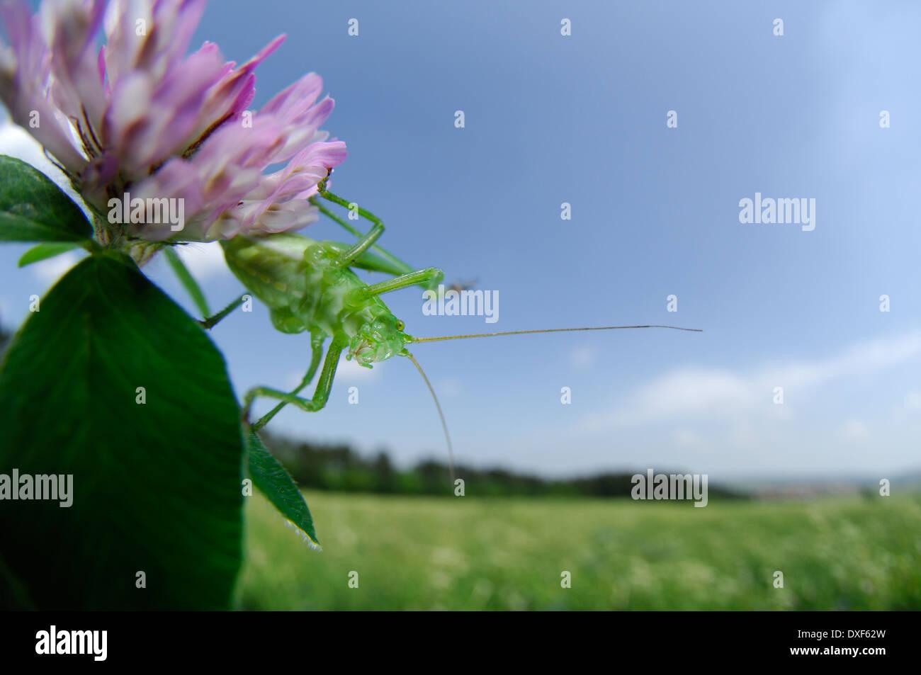 The speckled bush-cricket (Leptophyes punctatissima) - Stock Image