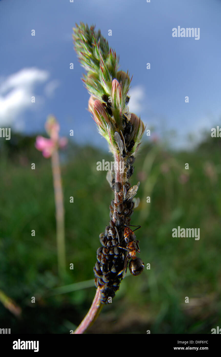 Red-barbed ant (Formica rufibarbis) | Rotbärtige Sklavenameise  (Formica rufibarbis) - Stock Image