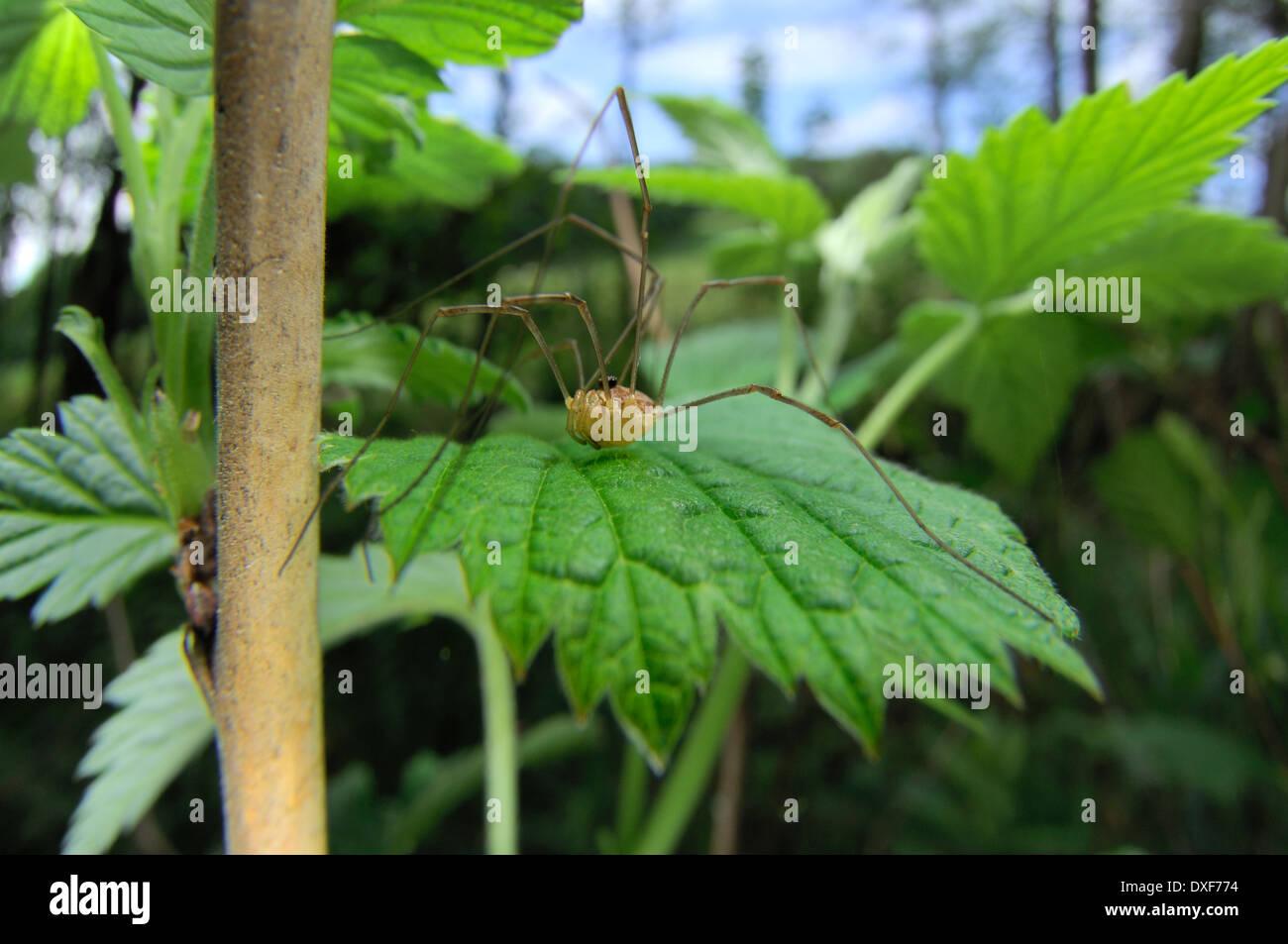 Harvestman immature (Phalangium opilio) | Weberknecht (Phalangium opilio) - Stock Image