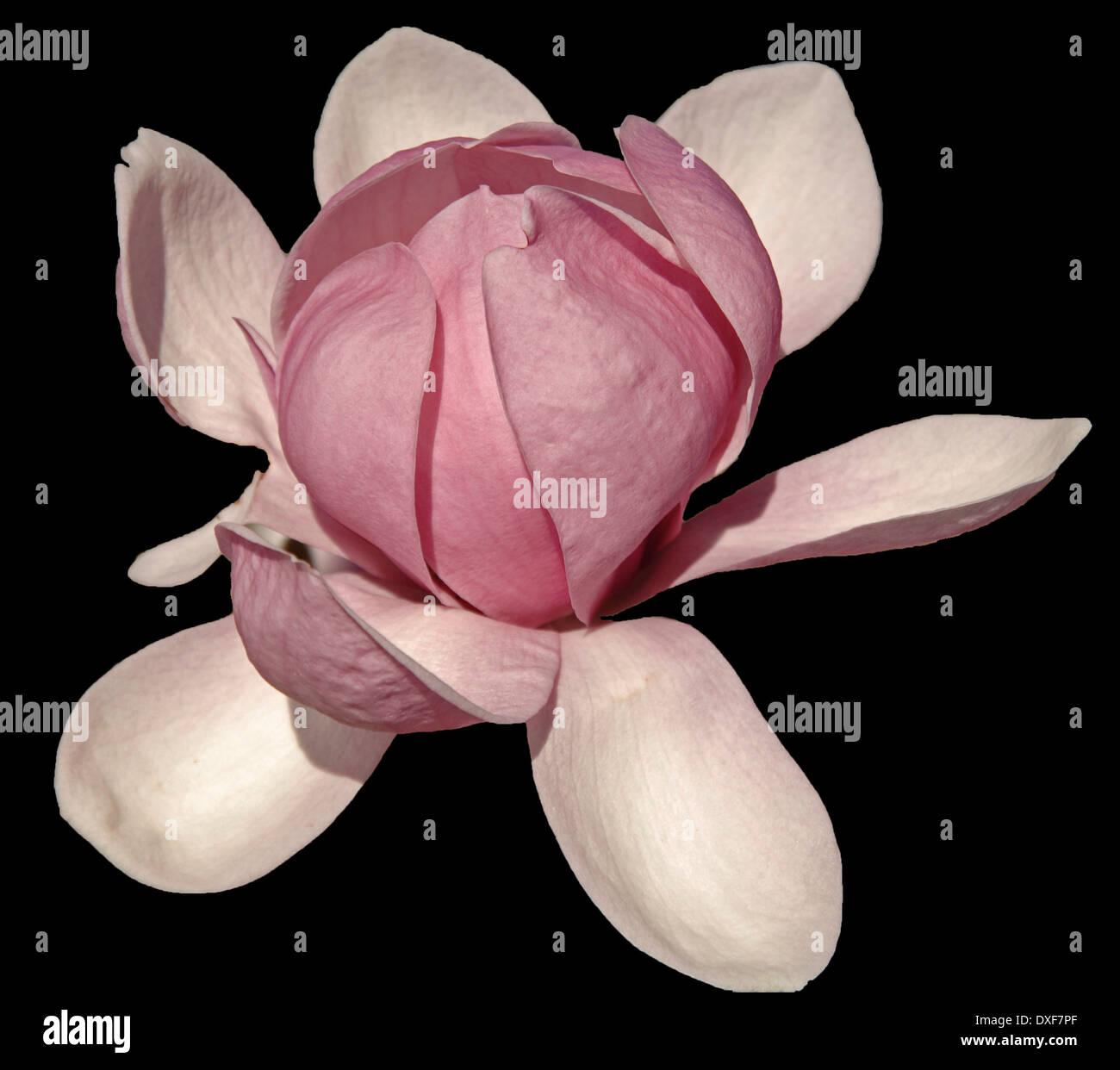 Magnolia Blossom on Black - Stock Image