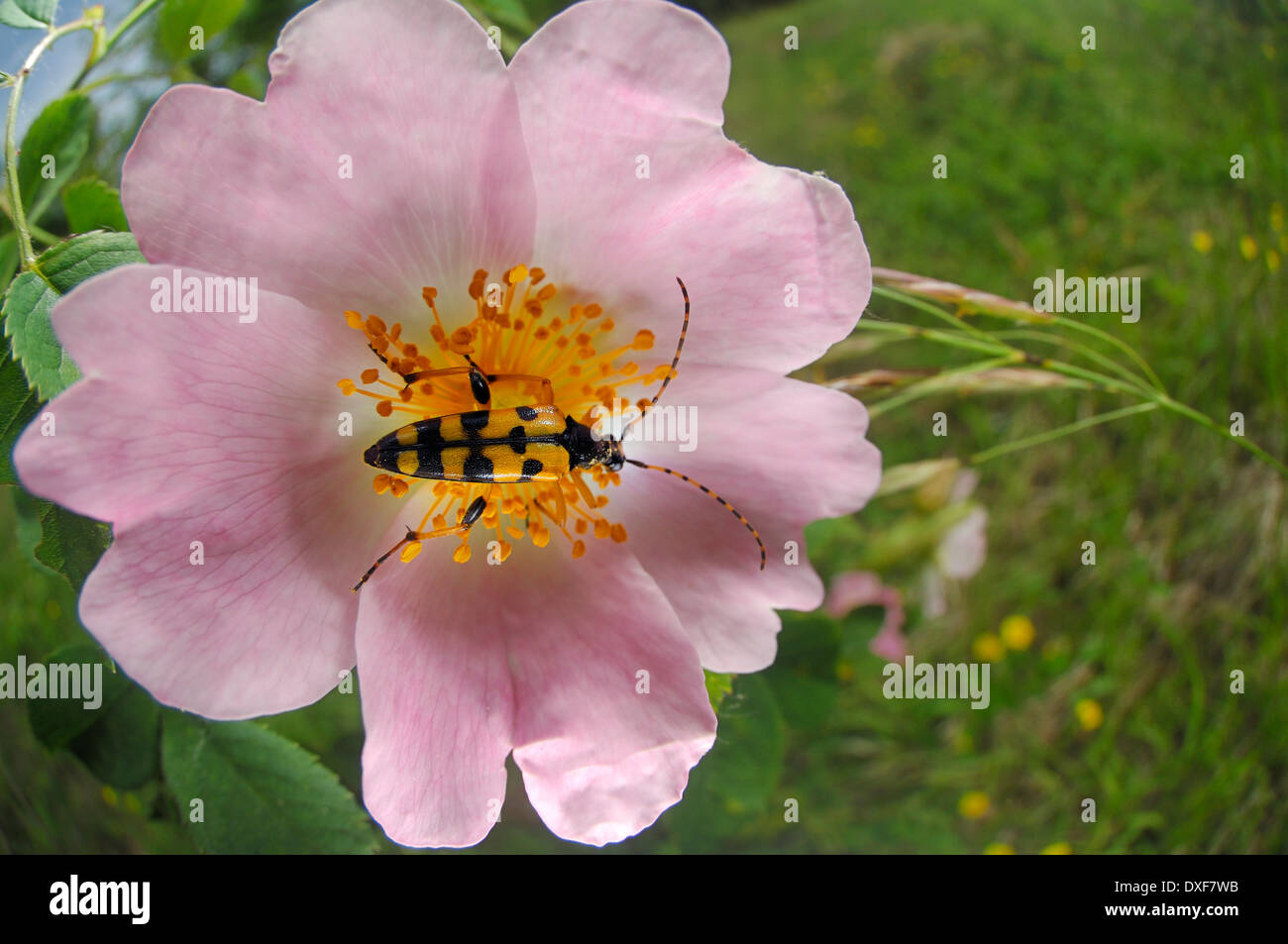 Spotted Longhorn Rutpela maculata | Schmalbock-Käfer auf Rose, Gefleckter Schmalbock, Strangalia maculata - Stock Image