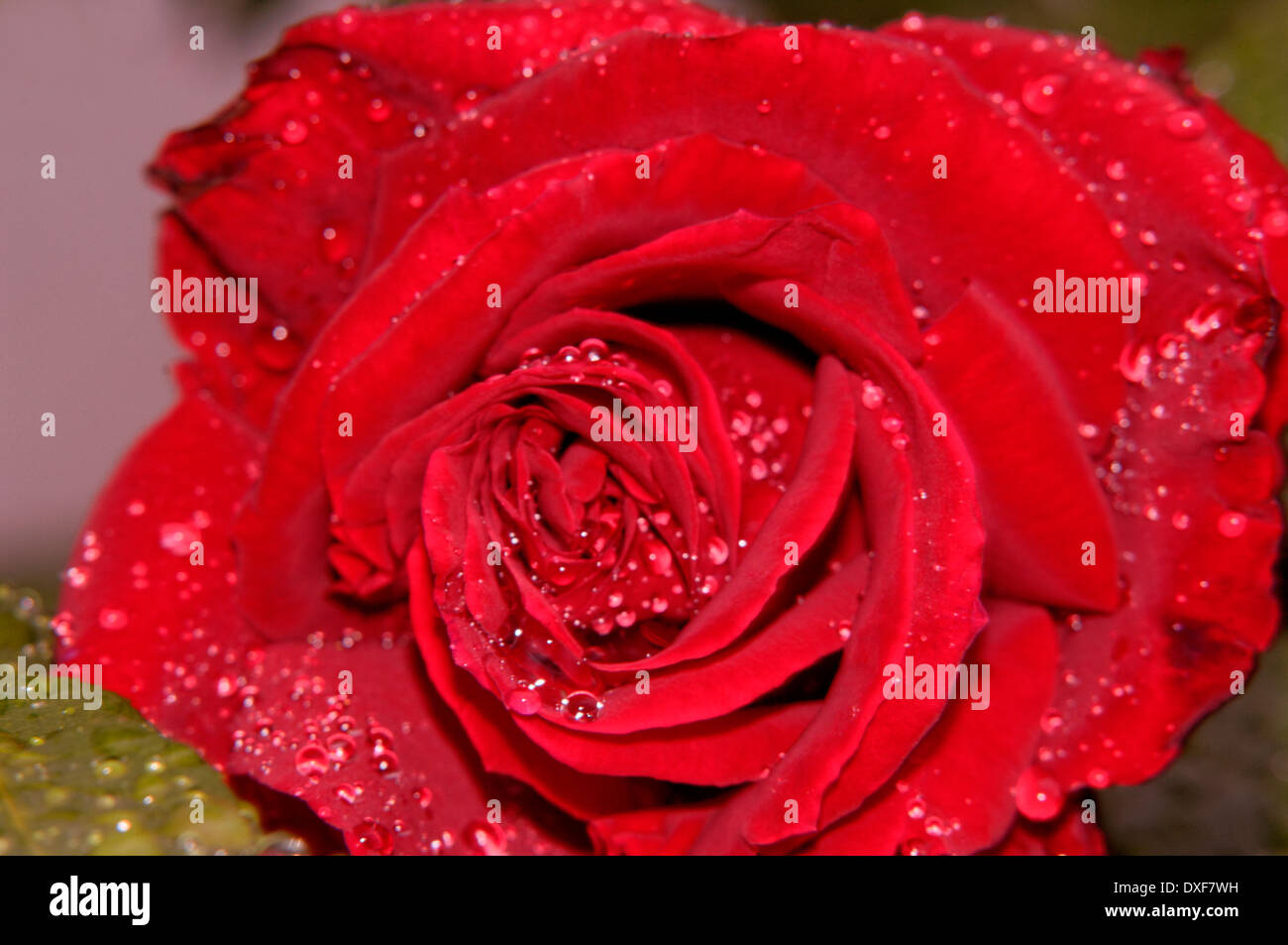 Red rose in the rain - Stock Image