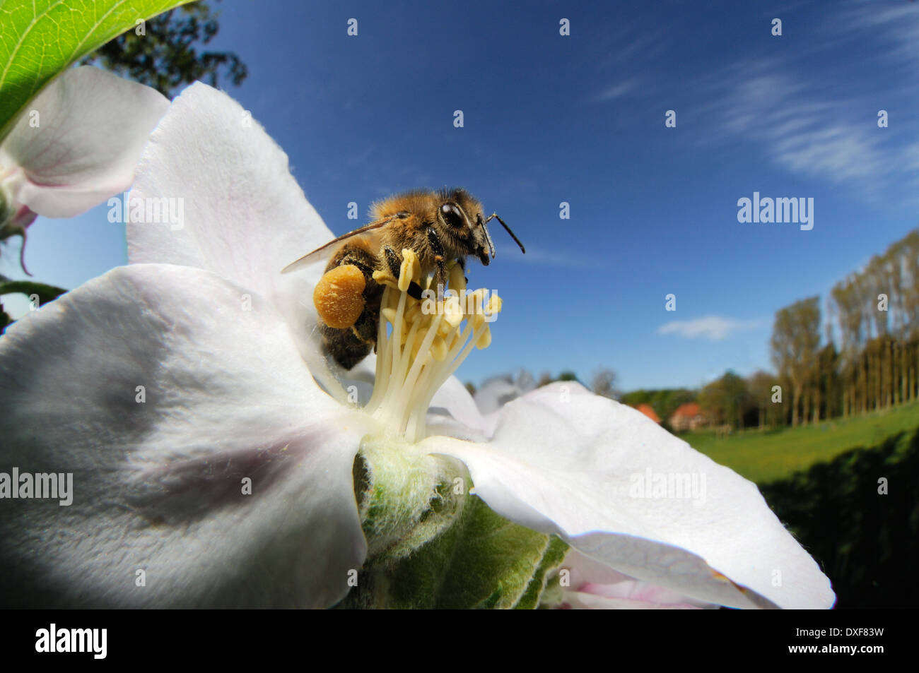 Honey bee (Apis mellifera) collecting pollen from the flower of an apple tree - Stock Image